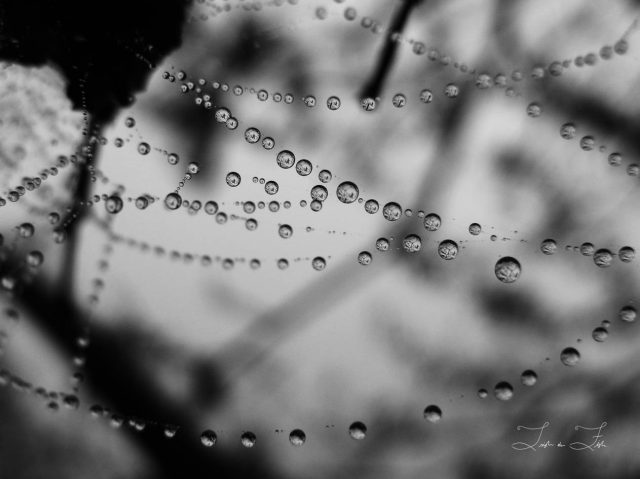 Water droplets on a spider's web in black and white
